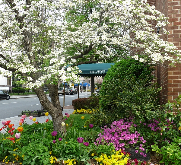A dogwood tree and tulips at the southwest corner of the Lauren. Photo by Brian Larkin